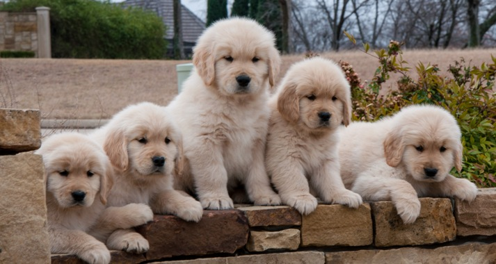Golden Retriever Puppies For Sale Houston Tx Area
